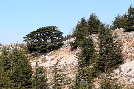 lebanon: Lebanon Cedars