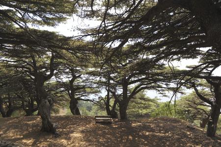 libani: Lebanon Cedar Forest