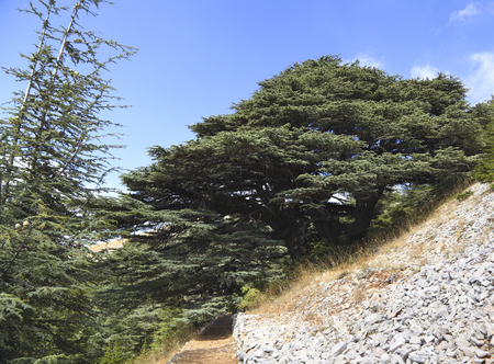 libani: Lebanon Cedar Tree Stock Photo