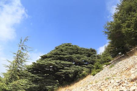 libani: Lebanon Cedars