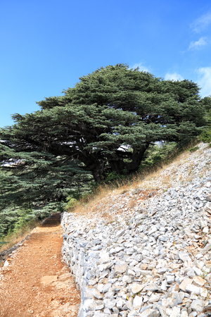 Lebanon Cedar Tree in forest- a photo of the actual tree represented as a symbol on the Lebanese flag Stock Photo
