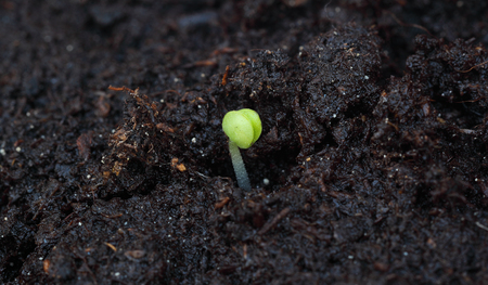 Newly sprouted seedling