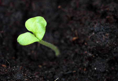Young sprouting basil seedling