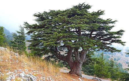 Cedro del Líbano en un paisaje neblinoso Foto de archivo