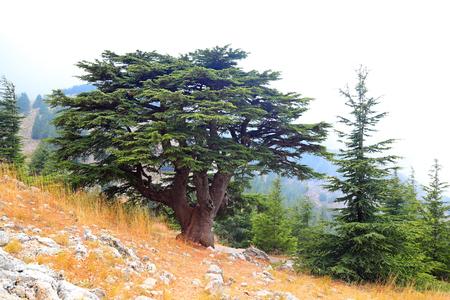 Libanon-Zedern an einem nebligen Tag