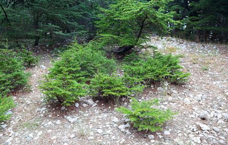 Young Cedar saplings, Lebanon