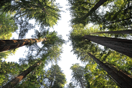 Looking up at the Redwood Forest Banco de Imagens