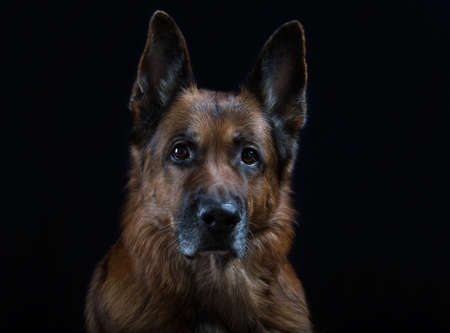 gracious: Shepherd dog on a black background