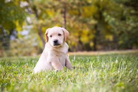 droll: Sad little labrador puppy is sitting on the green grass Stock Photo