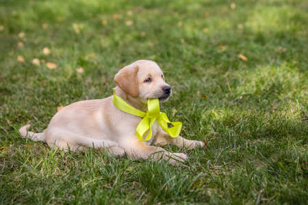 slobber: Labrador puppy with yellow bow lies on the grass Stock Photo