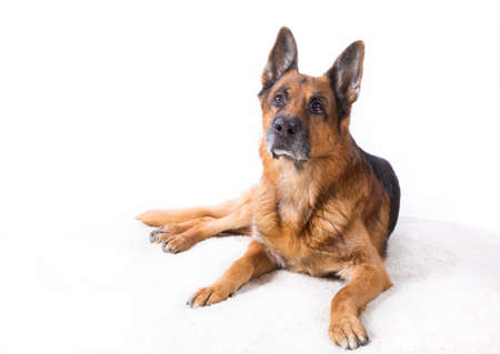 goodly: German shepherd is lying on a white background