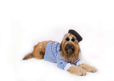 without legs: Big French shepherd dog in black beret and dark glasses is lying on a white background Stock Photo