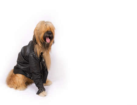 without legs: Big French shepherd dog in a black leather jacket with rivets is sitting on a white background