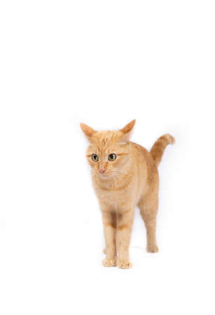 Woozy carroty cat with beautiful big eyes on a white background