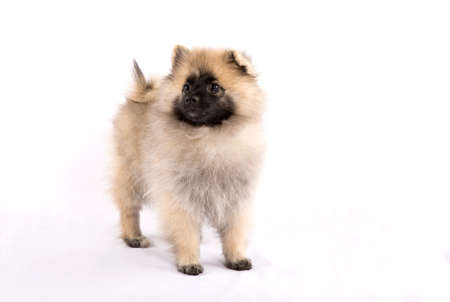 droll: Puppy Pomeranian is standing on a white background