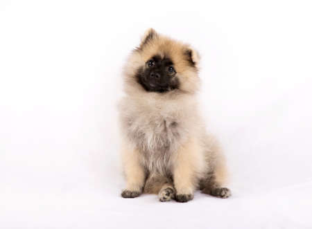 droll: Puppy Pomeranian is sitting on a white background Stock Photo