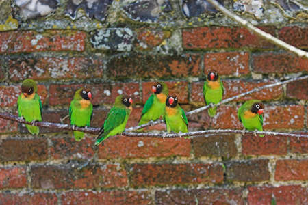 Black faced lovebirds on a branch having a good time! Soft focus on the lovebird 5th from right