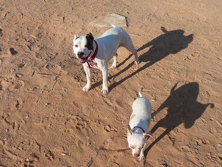 Pitbull and a Chihuahua