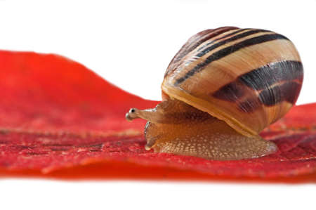 Snail crawling on a red leaf photo