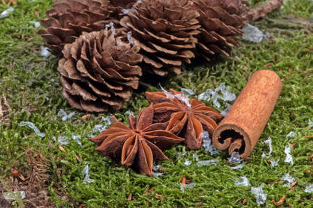 mycology: Pincone and anise with snow.