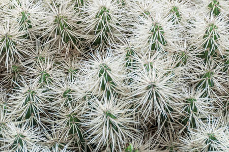 thorn tip: Many small cactus with big white thorn