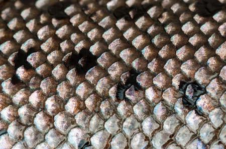 escamas de peces: Plata h�medo fresco y escamas de pez negro. Foto de archivo