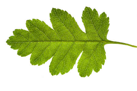 spring leaf: Nice fresh green spring leaf isolated over a white background