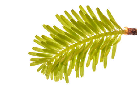 fir twig: Fine small and fresh fir twig over a white background