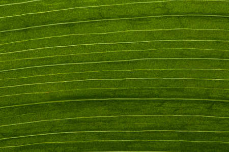 garden design: Clouseup picture on a fresh leaf with symmetrical lines