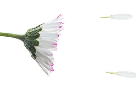 sens: Daisy flower in a summer storm, over a white background Stock Photo