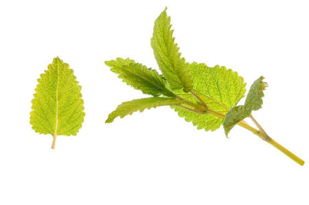 sens: Lemon balm twig and leaf isolated over a white background