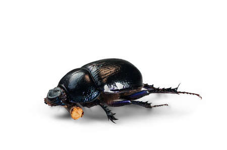 clamber: A big beautiful dung beetle isolated over a white background Stock Photo