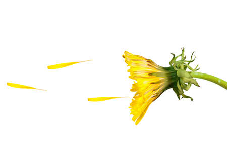 wind blowing: Dandelion blowing in the wind, isolated over a white surface Stock Photo