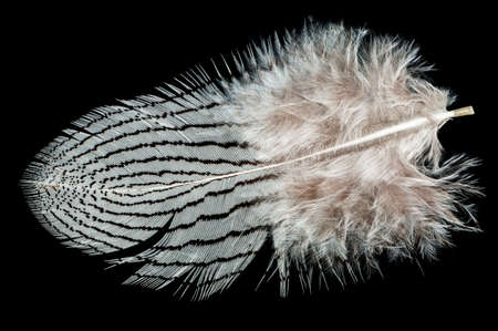 A nice black and white bird feather