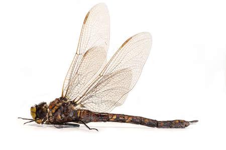 volar: Una hermosa mosca del dragón aislada sobre un fondo blanco