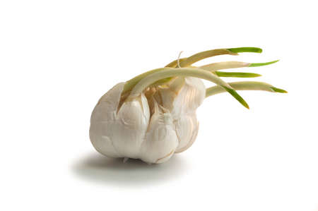 sens: A garlic onion with new fresh sprout