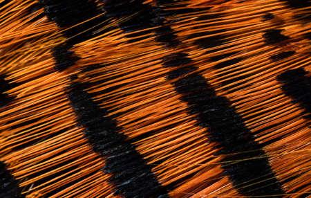 beautiful orange and black gold pheasant feather