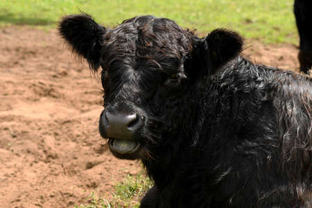 A black cow is chewing grass