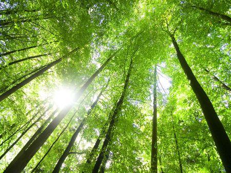 sun shining through the tree-tops  (wide-angle shot)