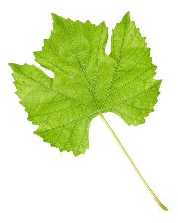 grape leaf isolated on white Stock Photo - 5114806
