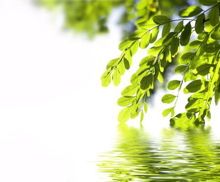 acacia leaves hanging into the water