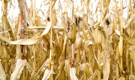 limp: withered corn plants