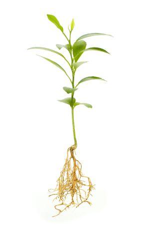 raices de plantas: j�venes de plantas aisladas sobre fondo blanco Foto de archivo
