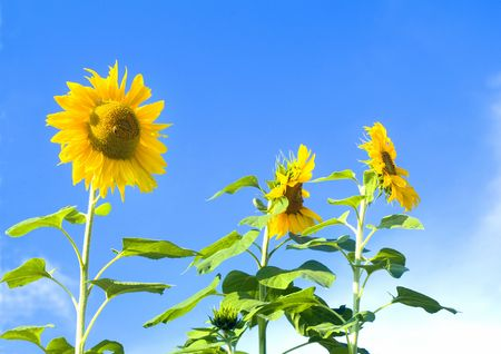 agronomic: beautiful sunflowers in front of blue sky