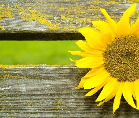sunflower between wooden beams