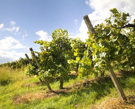 vineyard Stock Photo - 5114760
