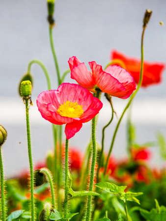 양 귀 비 꽃