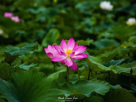 A lotus in Asan-02 Stock Photo