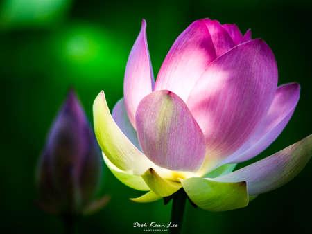A Lotus in Semiwon