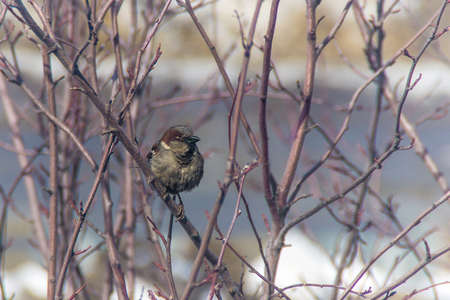 sparrow jumping on a branch, winter, birds are starving Stock fotó